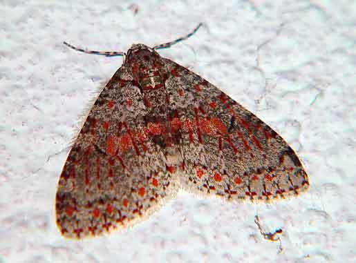 Trichopterigia pulcherrima