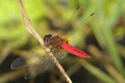 Aethriamanta brevipennis m