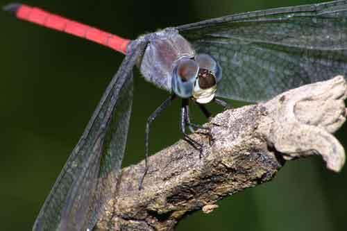 Lathrecista asiatica 1