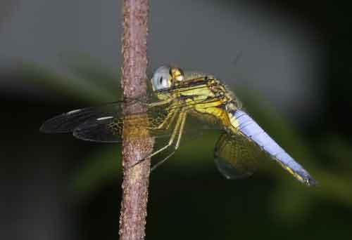 Palpopleura sexmaculata