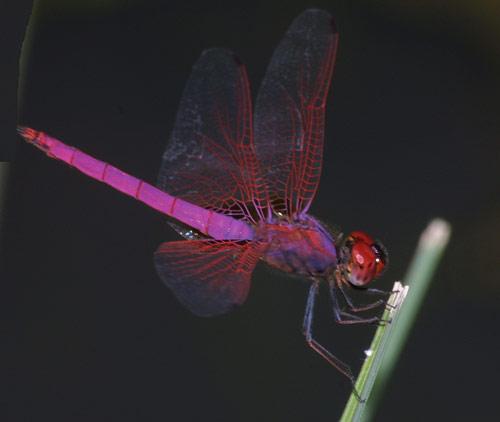 Trithemis aurora 1