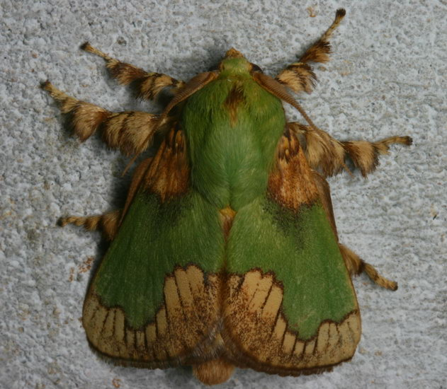 Limacodidae Parasa pastoralis