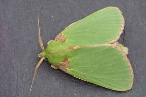 Parasa species