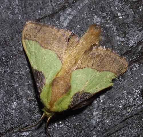 Parasa species 1