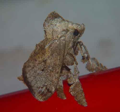 Limacodidae sp