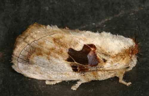 Chalcoscelides castaneipars
