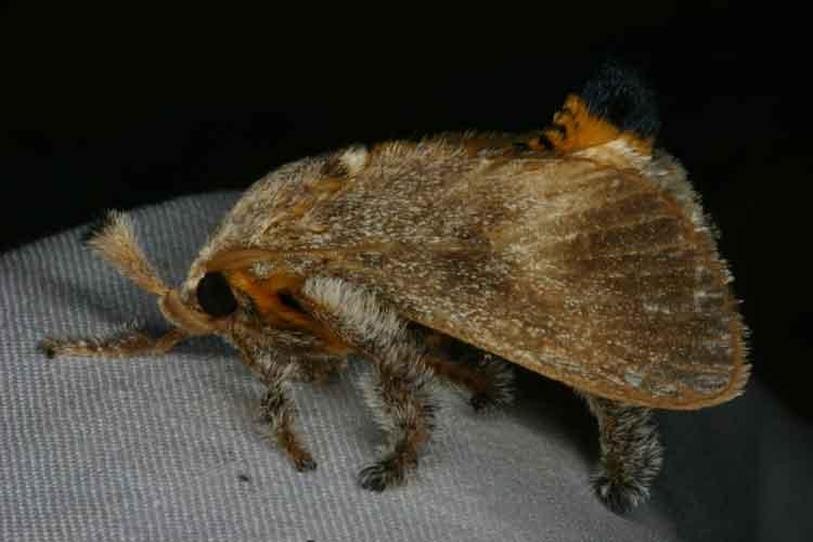 Austropoda sp