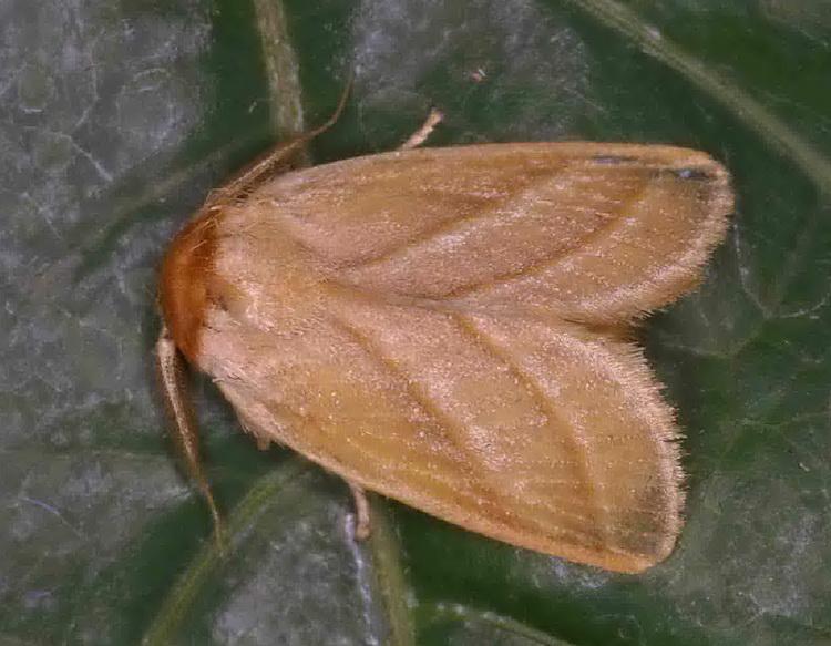 Cania heppneri