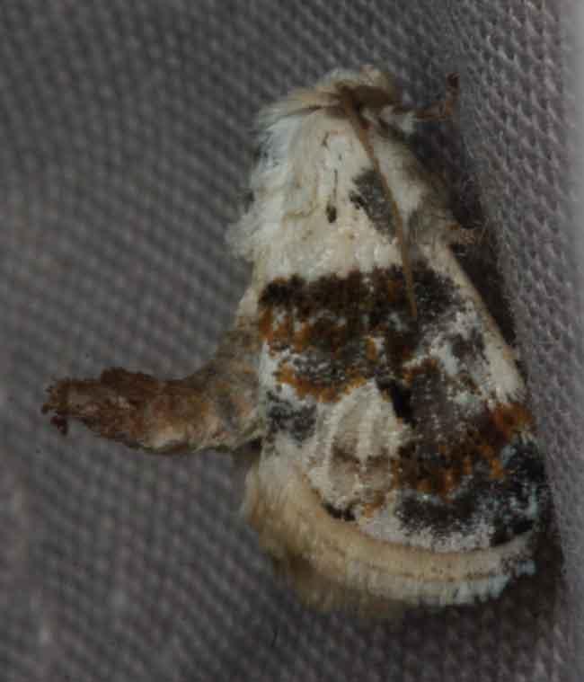 Limacodidae 5