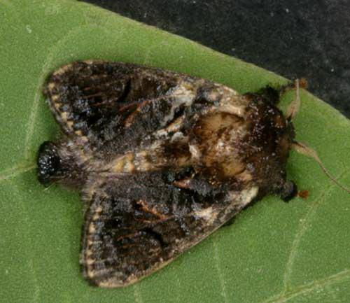 Limacodidae 6