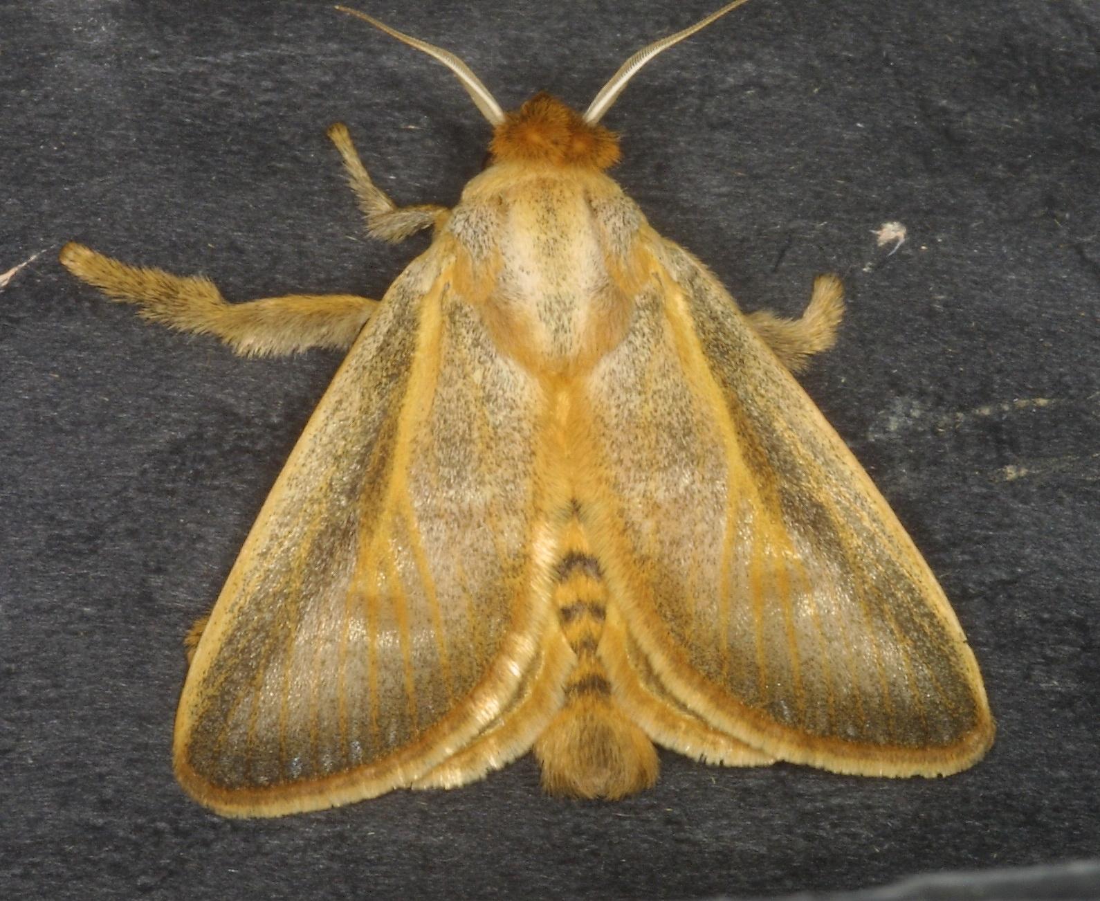 Limacodidae-7