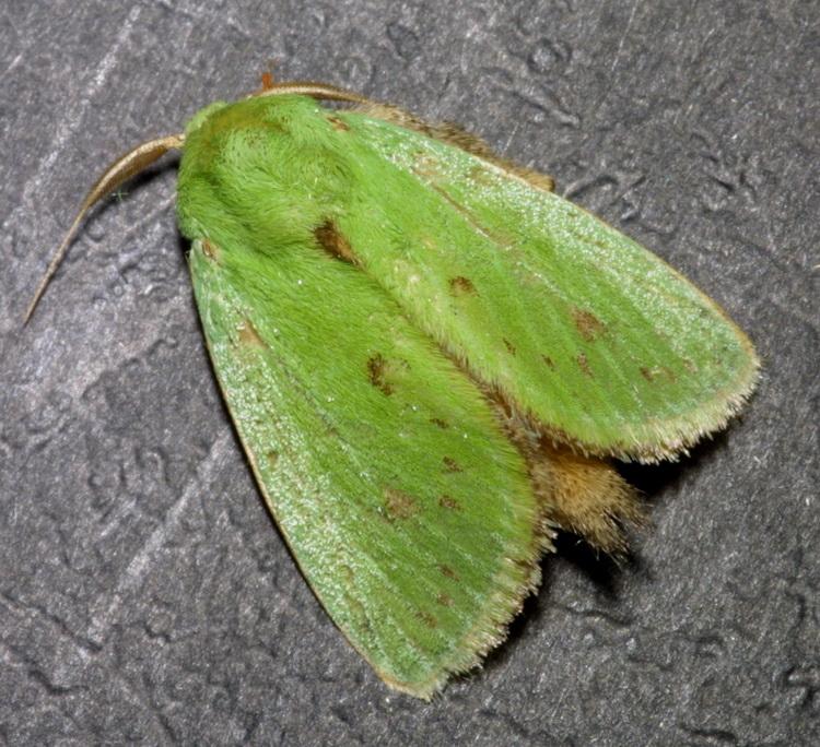 Parasa sp. nr bicolor