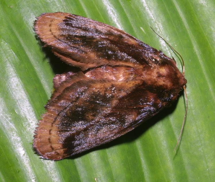 Phocoderma sp
