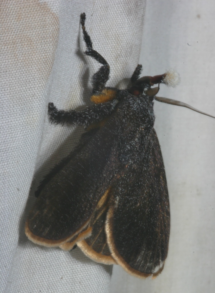 Scopelodes venosa (close)