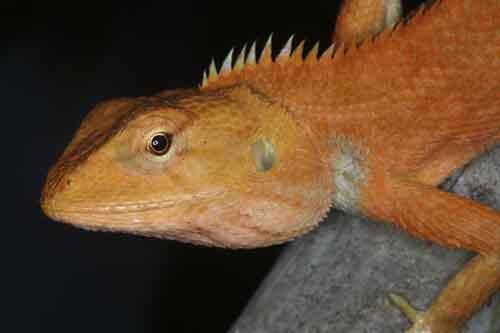 Garden fence lizard 1