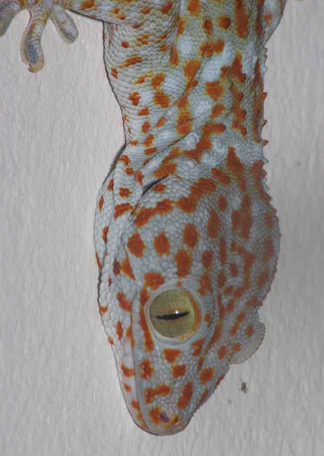 Gecko portrait