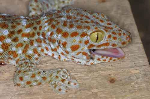 Tockay (Gekko gecko) 1