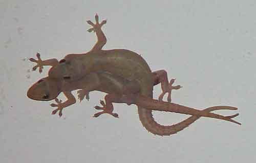 Four-clawed gecko (Gehyra mutilata)