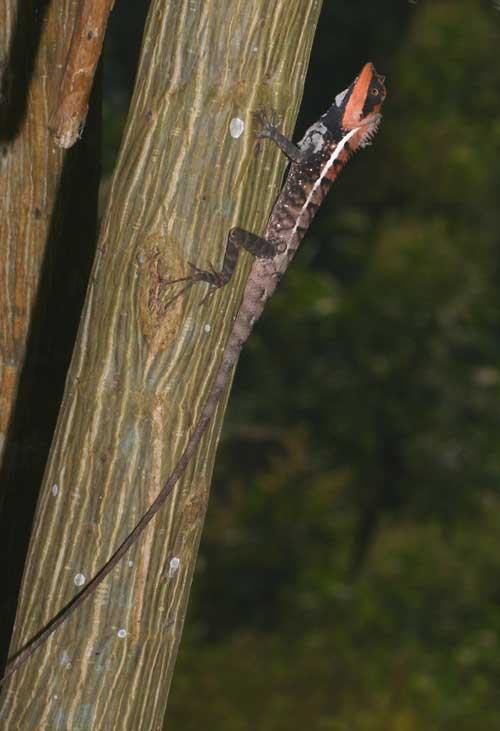 Northern forest crested lizard 1