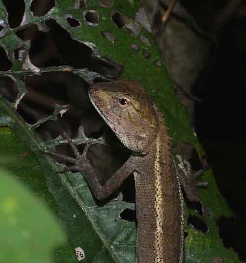 Northern forest crested lizard (Calotes emma alticristatus)