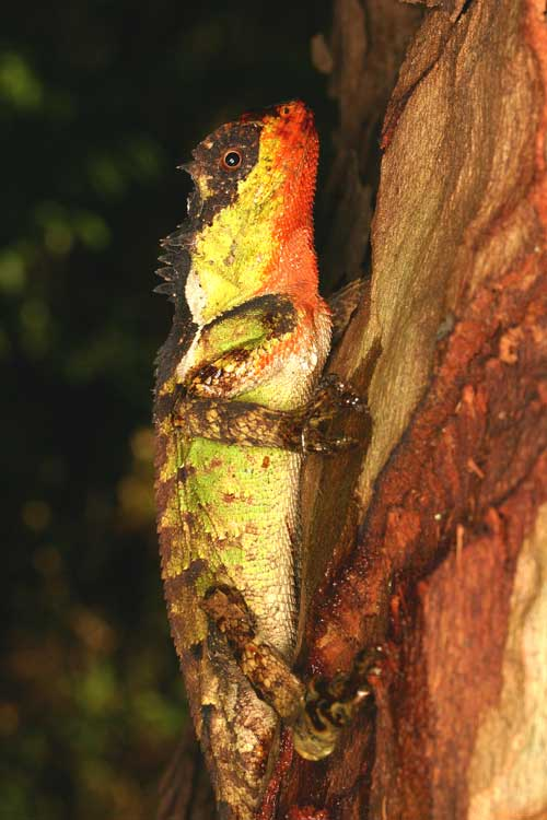 Scale-bellied Tree Lizard  (Acanthosaura lepidogaster)