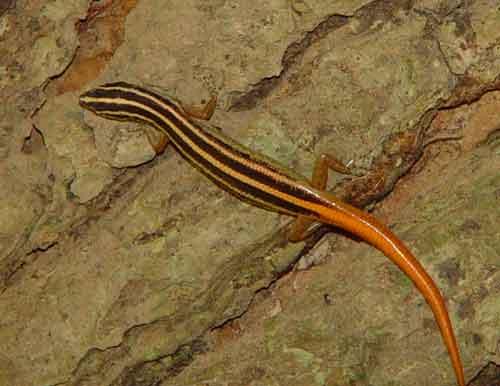 Striped tree skink (Lipinia vittigera)