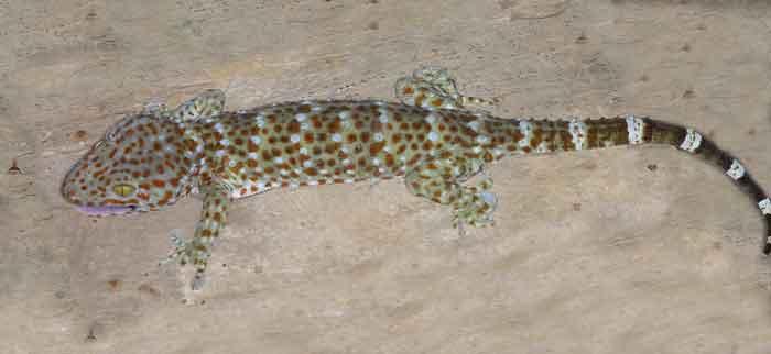 Tockay (Gekko gecko)