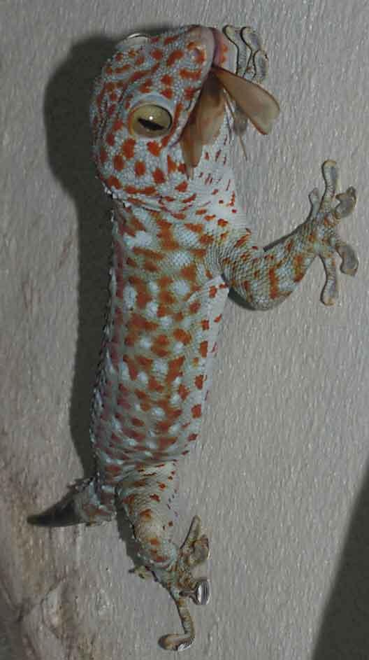 gecko enjoying a termite