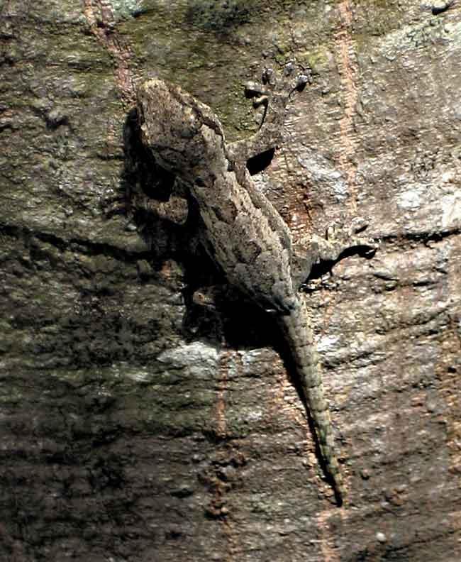 lizard on jack fruit tree