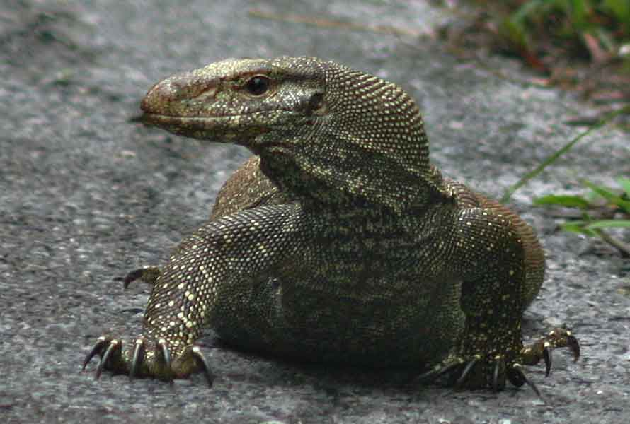 Clouded monitor lizard 2