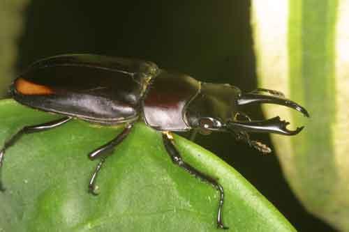 Dorcus bisignatus giselae