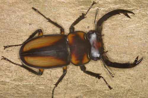 Rhaetulus speciosus boileaui m