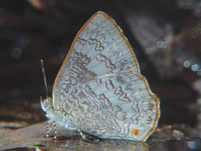 Poritia hewitsoni