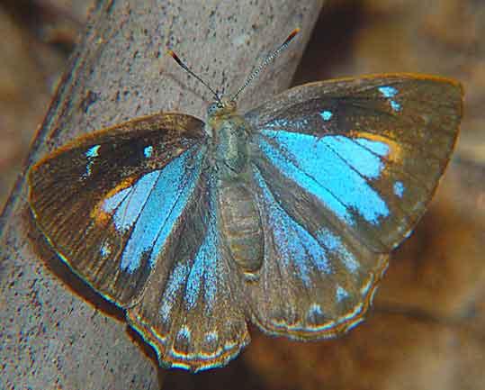 Poritia hewitsoni1