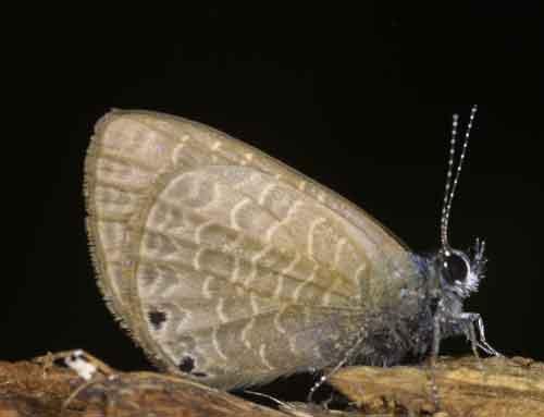 Prosotas species