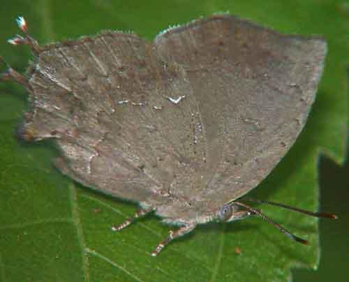 Surendra quercetorum