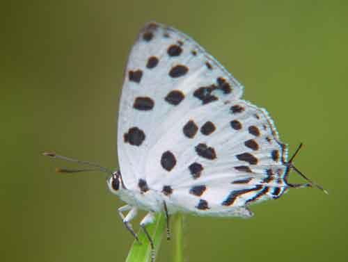 Tajuria maculata
