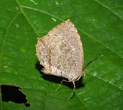 Allotinus drumila