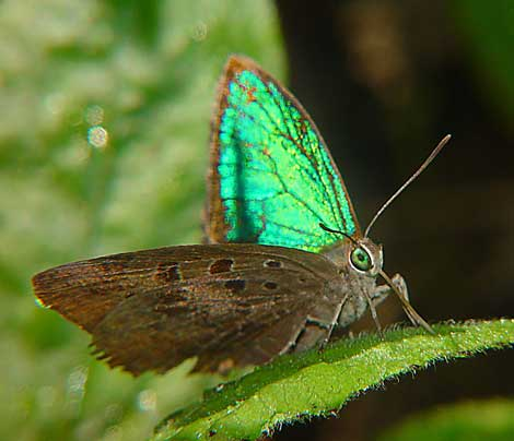 Arhopola eumolphus