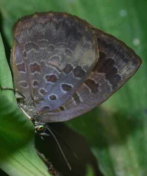 Arhopola aurelia