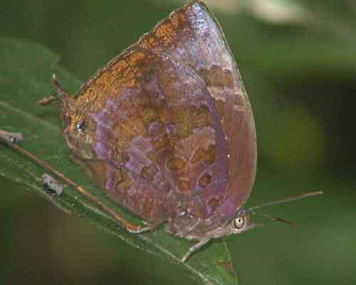 Arhopola seudocentaurus