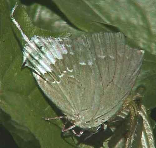 Artipe eryx