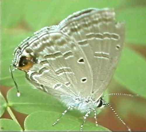 Catochrysops strabo