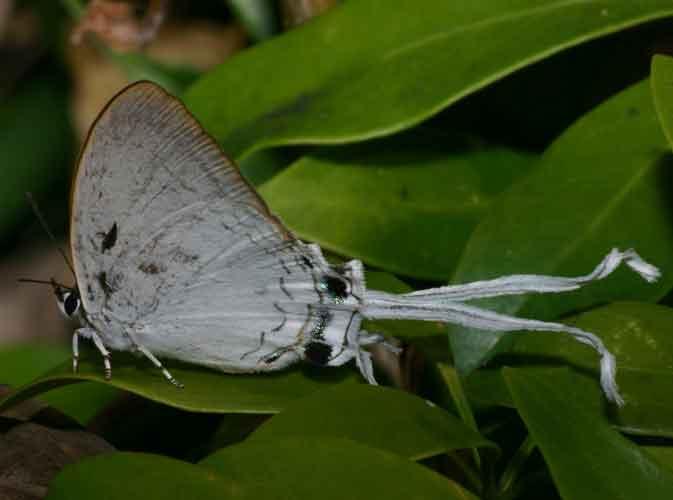 Cheritra freja 1