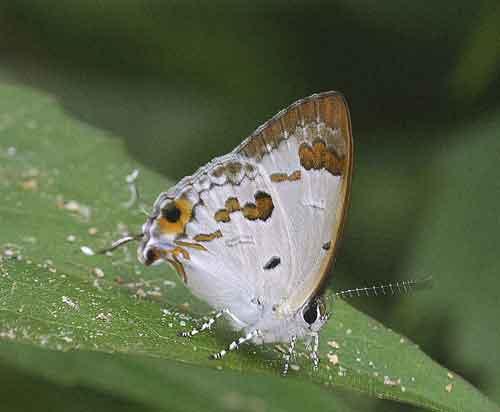 Chilaria othona