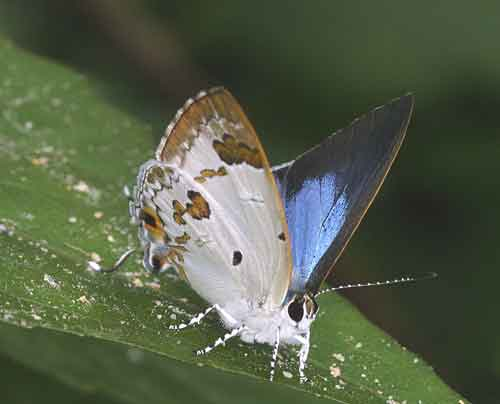 Chilaria othona 1