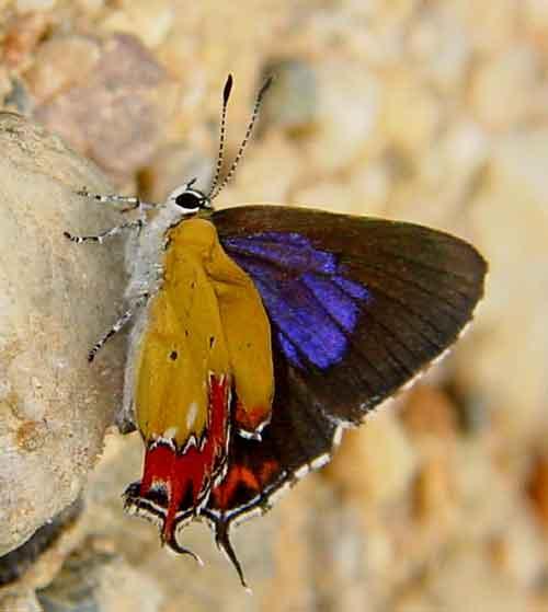 Heliophorus indicus