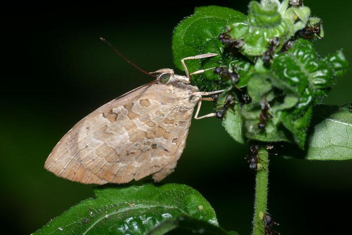 Lycaenidae Arhopola sp. with ants