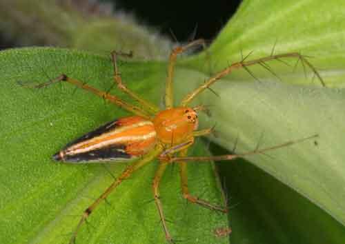 Oxyopes birmanicus