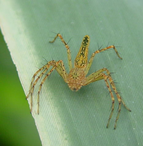 Oxyopes sp.